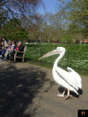 Pelican in St James Park in London